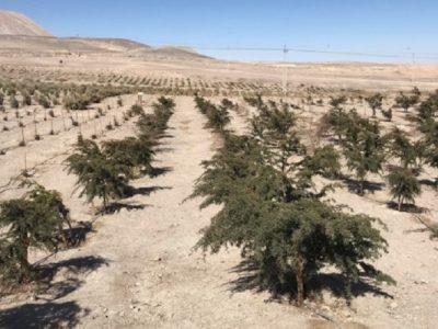 Cómo crear un pulmón verde en el desierto de Atacama