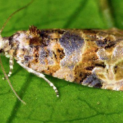 Insectos estériles para combatir plagas en la agricultura